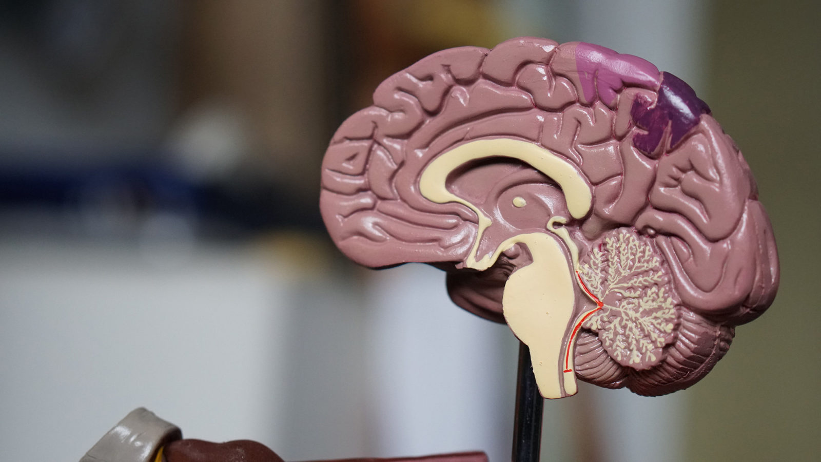 Model showing interior of brain used for medical purposes